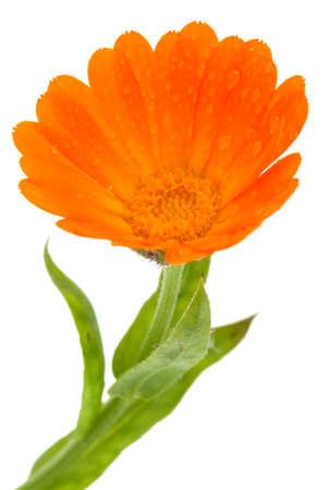 Flower of calendula isolated on white  Stock Photo - 10785118