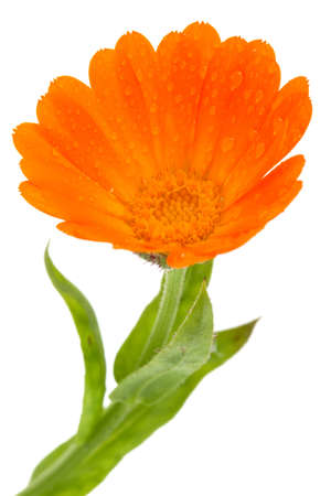 Flower of calendula isolated on white Stock Photo - 10785118