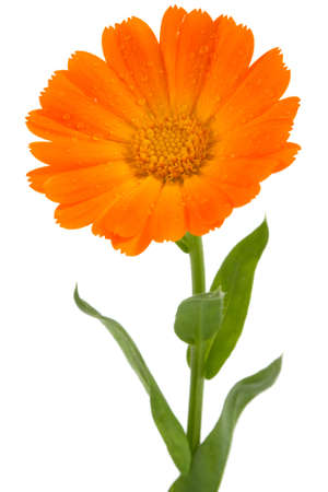 white with daisies: Flower of calendula isolated on white  Stock Photo