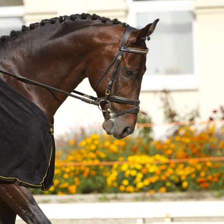 beautiful dressage horse