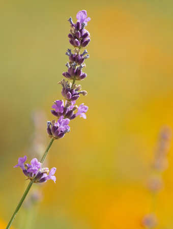 herbs of provence: beautiful lavenders in a field Stock Photo