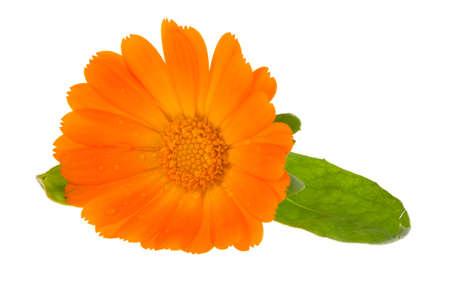 marigold: Flower of calendula isolated on white  Stock Photo