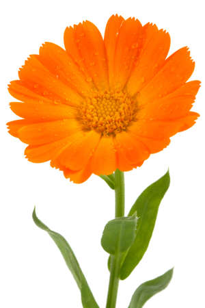 single object: Flower of calendula isolated on white Stock Photo