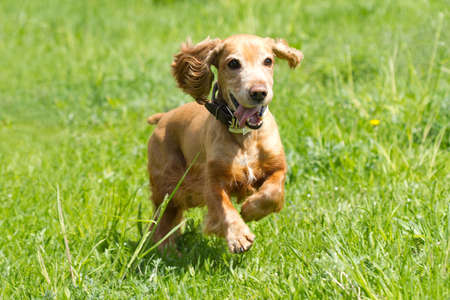 Cocker Spaniel runing on a green grass photo