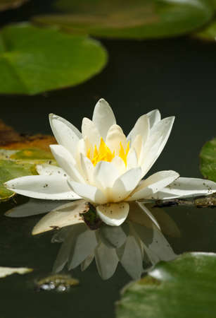 water lilly: white water lily on the lake Stock Photo