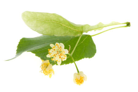 lime blossom: Flowers of linden tree isolated on white