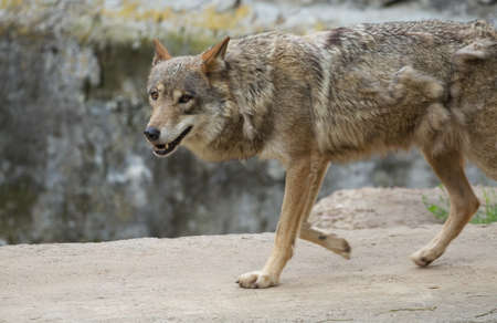 Gray wolf  Canis lupus  running photo