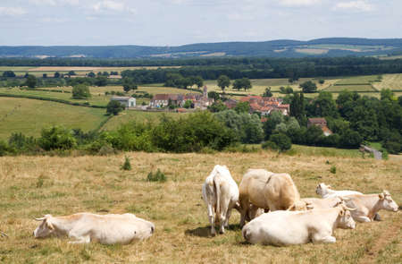 pasturage: Landscape with Cows in Burgundy, France Stock Photo