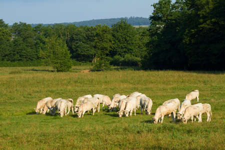 Landscape with Cows in Burgundy, France Stock Photo - 13292841