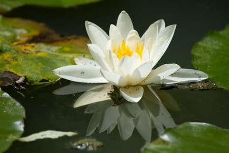 Beautiful water lily on the lake Stock Photo - 13292817