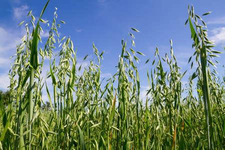 haver veld: Groene haver veld op de blauwe hemel Stockfoto