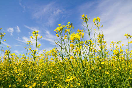 Rapeseed flowers on the blue sky background photo