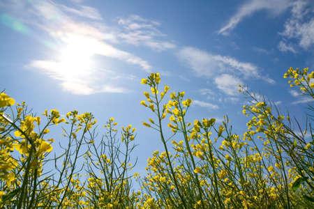 Rapeseed flowers on the blue sky photo