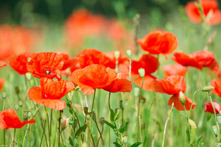 Flowers of beautiful red poppies Stock Photo - 14949909