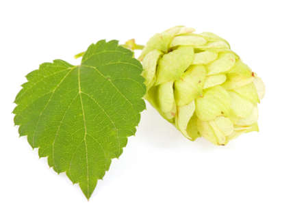 bitterness: Hops isolated on a white Stock Photo