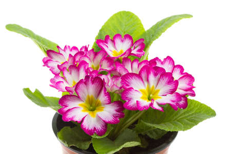 primulas: Red primrose isolated on white  Stock Photo