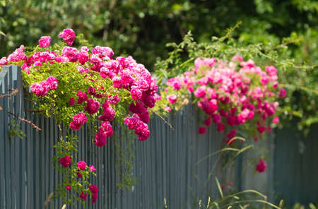 blooming. purple: Pink roses climbing on the wooden fence