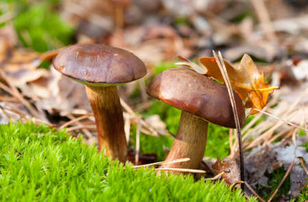Autumn  mushroom grow in the moss  photo