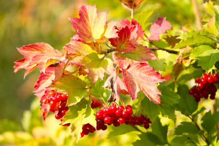 Red Viburnum berries in autumn  photo