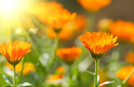 calendula: Flower of beautiful calendula