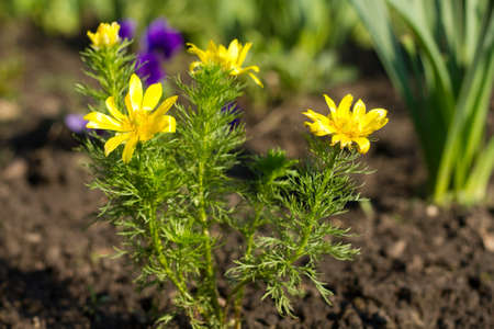 corydalis:  Beautiful yellow  spring flowers  Stock Photo