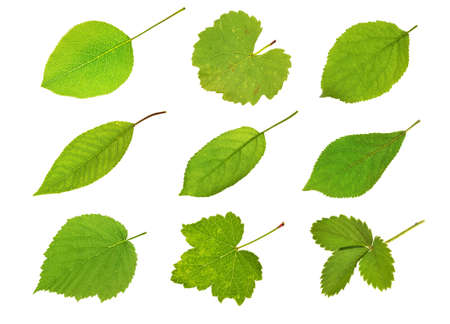 Collection fruit leaves isolated on white photo