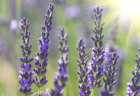 beautiful lavenders flowers in a field photo