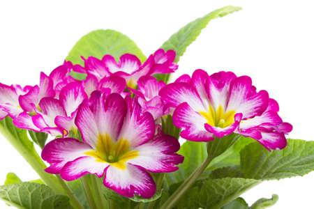 primulas: Red primrose isolated on white