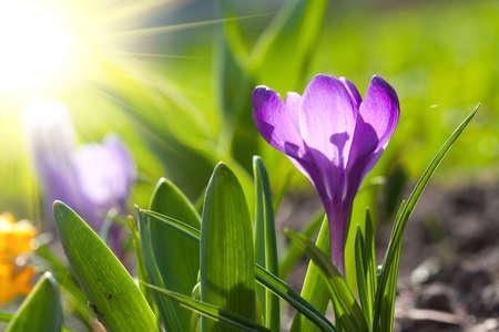 crocus: beautiful spring crocus and sun Stock Photo
