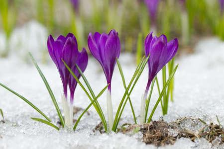Beautiful spring crocuses in the snow Foto de archivo