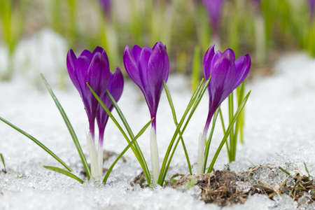 Beautiful spring crocuses in the snow Stock Photo