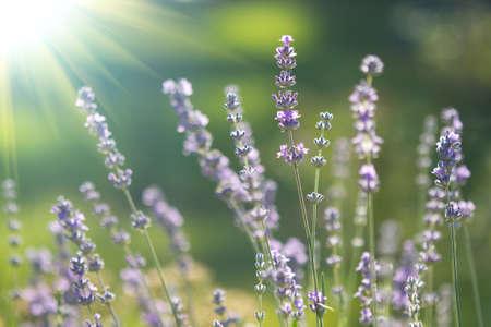 beautiful lavenders flowers Foto de archivo