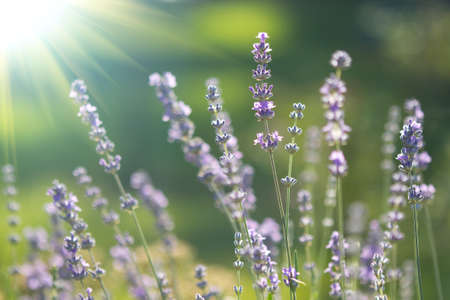 beautiful lavenders flowers Stockfoto