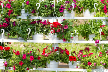 Flower pots with flowers a petunia