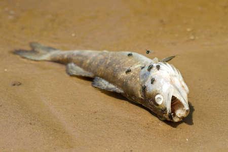 Dead fish in the river photo