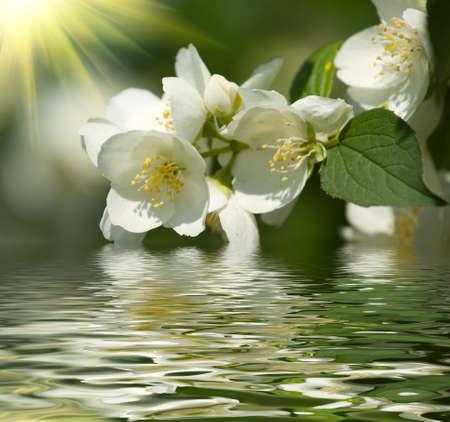 jessamine: Bellissimo fiore di gelsomino Archivio Fotografico