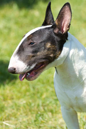 pit: Bull terrier on the green grass