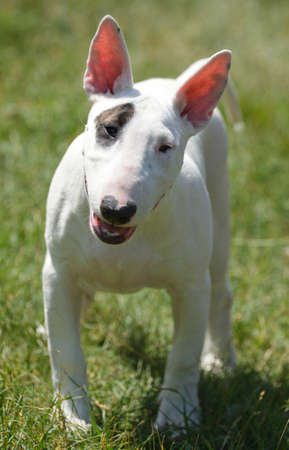 stocky: Puppy bull terrier on the green grass