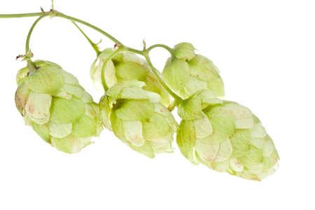 Hops isolated on  white . photo