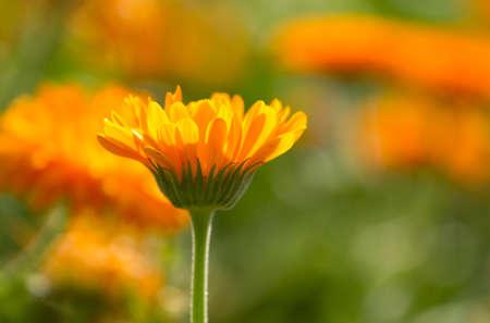 calendula: Flower of calendula on blossom