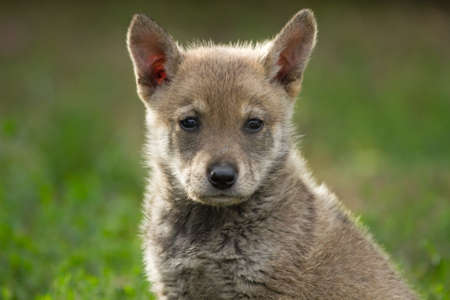undomestic: Puppy cross-breed of wild dog and wolf