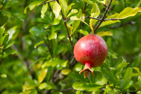 Ripe pomegranate on a tree photo