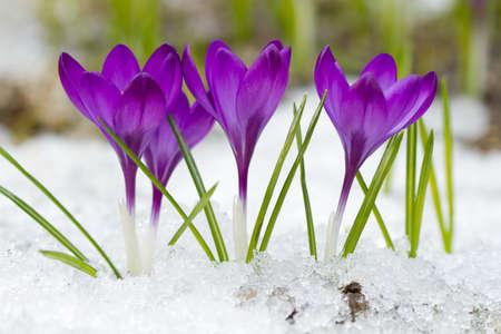 Beautiful violet crocuses in the snow