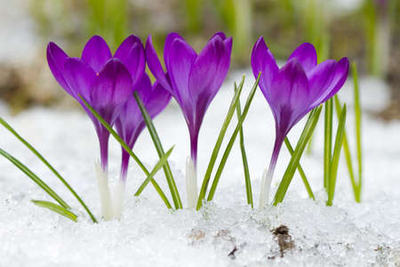 Beautiful violet crocuses in the snow photo