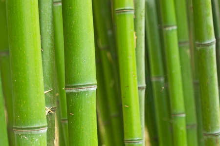 bamboo forest: Bamboo green forest background