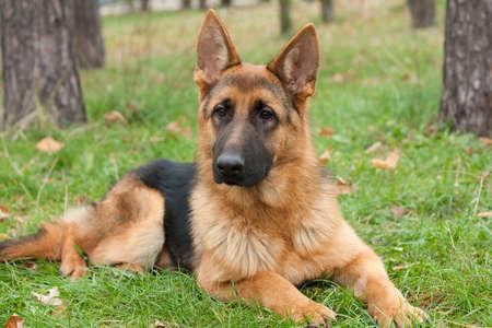 German Shepherd dog on the grass