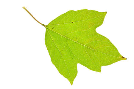 guelder: Green viburnum leaf isolated on white