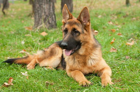 german shepard: German Shepherd dog on the forest Stock Photo