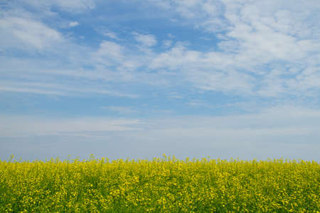 bio diesel: Rapeseed blossom flowers on the blue sky