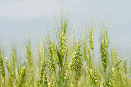 Unripe green wheat in the field Stock Photo - 25318446